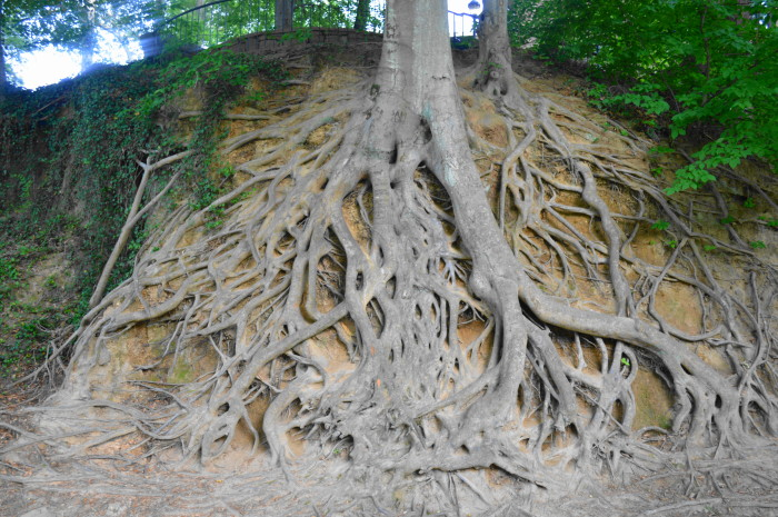 Really cool looking exposed tree roots in Falls Park.