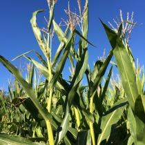 The fall fun continued in the corn maze.