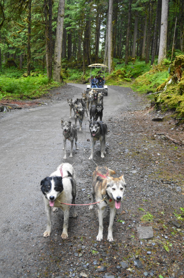 We had this amazing team of 16 dogs pulling 4 adults, 2 kids and the musher in the cart. It was amazing how fast they made us go! What a rush. It was fascinating watching the musher communicate with his team and the dogs communicating with each other.